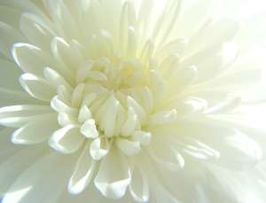 Crysanthemum white