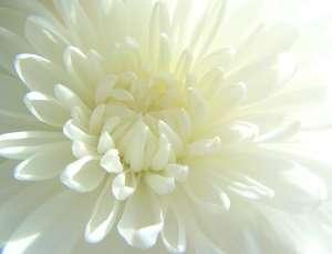 Crysanthemum white