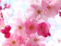apricot flower cancer healer
