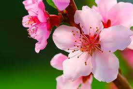 peach flower for etheric